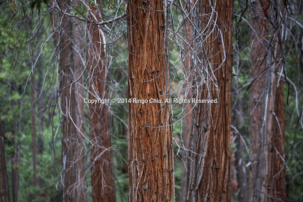 Dry trees are seen in Yosemite Valley August 25, 2014 in Yosemite National Park, California.(Photo by Ringo Chiu/PHOTOFORMULA.com)