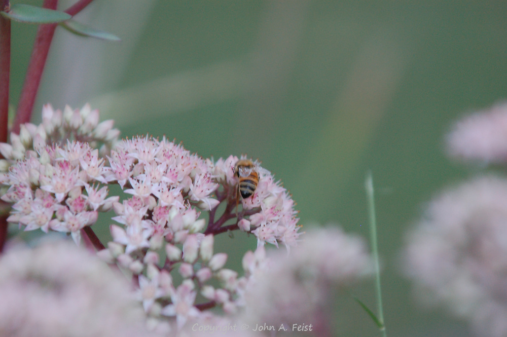 A bee having lunch in a stand of pink and white flowers.  Hillsborough, NJ