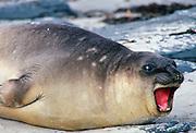 Young elephant seal,  Sea Lion Island, Falklands Isles, South Atlantic