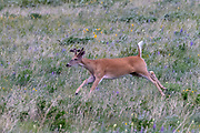 White-tailed Deer running along the East end of Going to the Sun Road, Glacier National Park, Wyoming