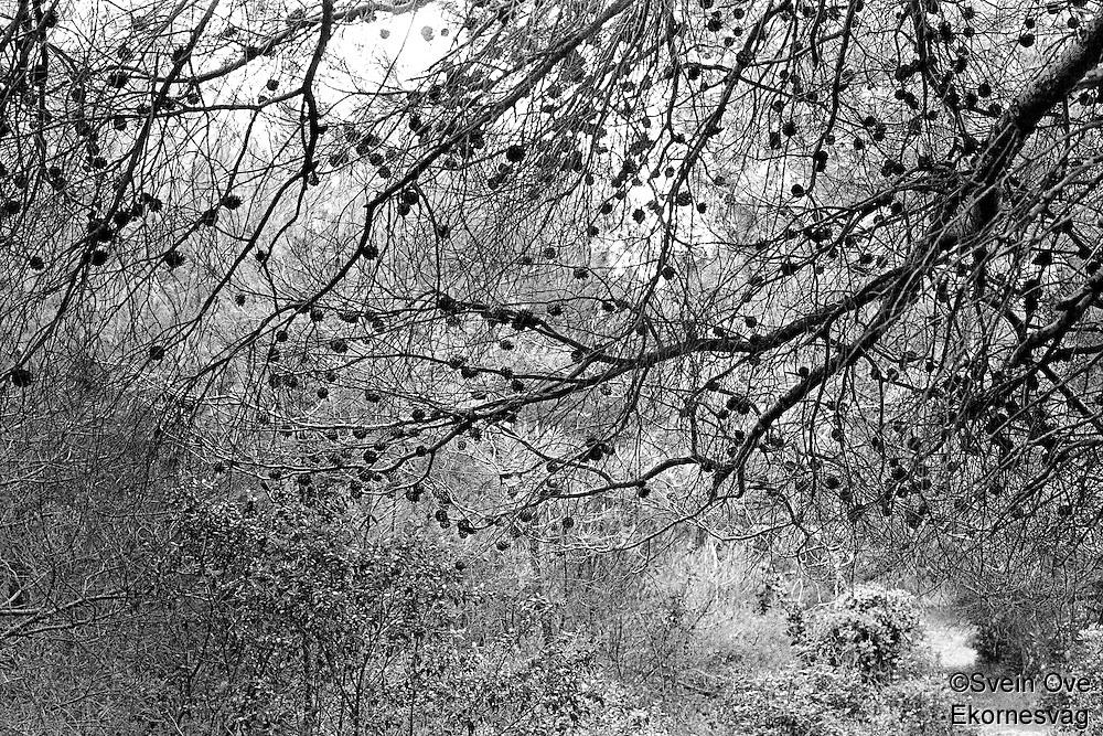Kroatia 2012-06.<br /> Trær med kongler i en skog på Lopud i Kroatia.<br /> Foto: Svein Ove Ekornesvåg