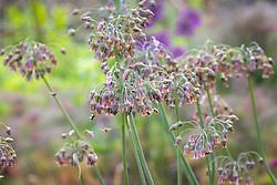 Bees on Allium siculum syn. Nectaroscordum - Bulgarian honey garlic