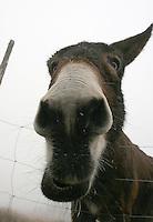 muldyr, mule