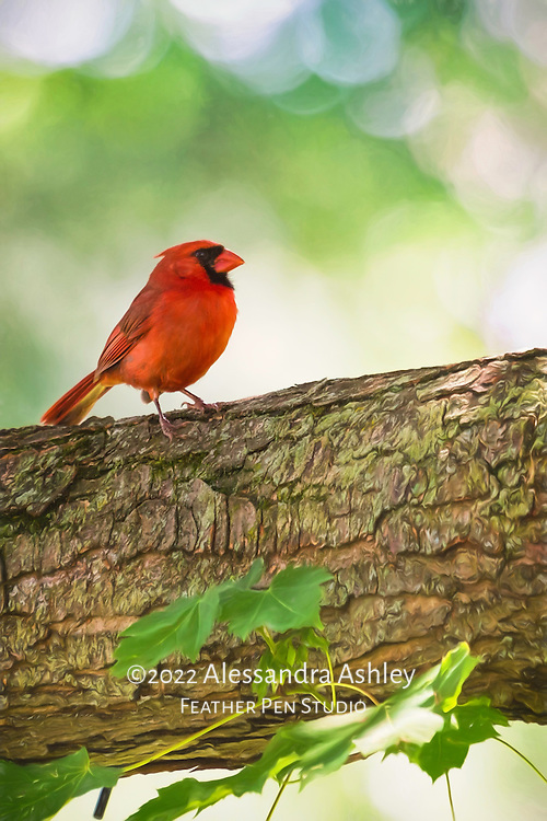 Northern cardinal (Cardinalis cardinalis) male on large branch of maple tree.  Painted effects blended with original photograph. Backyard setting, central Ohio.