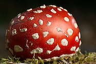 Amanita muscaria, a fungi that is commonly known as the fly agaric mushroom growing in Tacoma Wash. (Photo/John Froschauer)