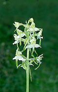 GREATER BUTTERFLY-ORCHID Platanthera chlorantha (Orchidaceae) Height to 50cm. Tall and elegant orchid of undisturbed woodland, scrub and grassland, mostly on calcareous soils. FLOWERS are greenish white with a long, narrow lip, a long spur (15-25mm) and pollen sacs that form an inverted 'v'; borne in open spikes (Jun-Jul). FRUITS form and swell at the base of the flowers. LEAVES comprise a single pair at the base of the plant and a few smaller stem leaves. STATUS-Widespread but local.