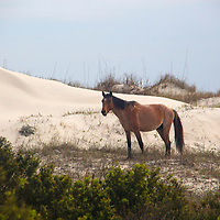 USA, Georgia, Cumberland Island. Feral horse roams sandy beach dunes of Cumberland Island.