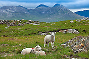 Mountain sheep on the Old Bog Road, near Roundstone, Connemara, County Galway