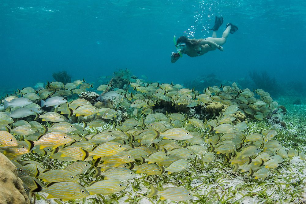 Bluestriped Grunt (Haemulon sciurus) & tourist<br /> Hol Chan Marine Reserve<br /> near Ambergris Caye and Caye Caulker<br /> Belize<br /> Central America