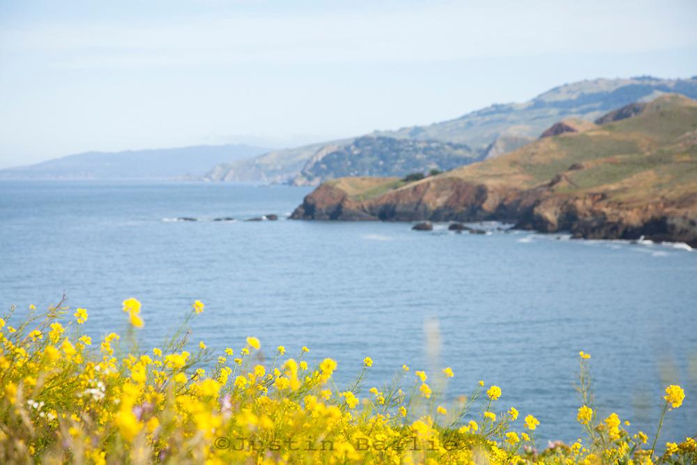 Wild Mustard blooming along the Marin Headlands. Golden Gate National Recreation Area. San Francisco, CA
