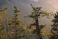 Late evening light on Fir and Cedar Trees at Ricksecker Point, Mount Rainier National Park.