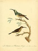 Sucrier à plastron rouge. from the Book Histoire naturelle des oiseaux d'Afrique [Natural History of birds of Africa] Volume 6, by Le Vaillant, Francois, 1753-1824; Publish in Paris by Chez J.J. Fuchs, libraire 1808