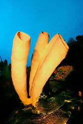 brown tube sponge, .Agelas conifera, .East Shute Wall, .Cayman Brac (Caribbean)