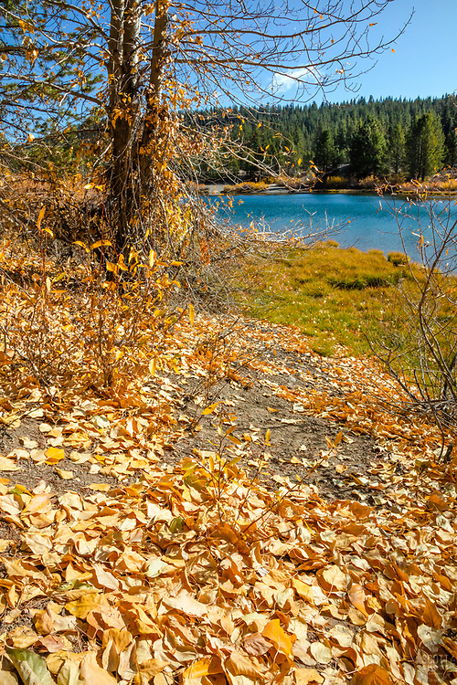 """""""Coldstream Pond in Autumn 5"""" - Photograph of yellow leaves that had fallen near Coldstream Pond in Truckee, California."""