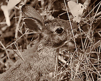 Harvey My Backyard Rabbit Feeding on Some Late Summer Grass. Image taken with a Nikon 1 V2 camera, FT1 adapeter and 180 mm f/2.8 D lens (ISO 200, 180 mm, f/2.8, 1/1000 sec). Sepia conversion using Adobe/NIK Silver Efex Pro 2<br /> <br /> Hand held. This is an older prime lens that does not have VR and I had to manually focus, but with the lens wide open was able to shoot at 1/1000 sec. The camera was set to use the electronic shutter so no noise to scare the rabbit. The FOV for this camera lens combination is equivalent to 486 mm with a full frame DSLR.
