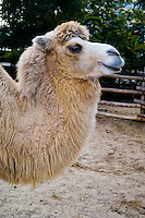 Budapest, Hungary.  Bactrian camels in Budapest Zoo.