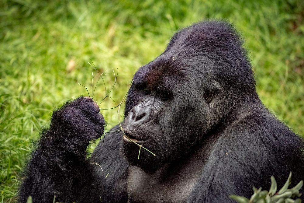 A large male 'silverback' mountain gorilla delicately eating some vegetation.<br /> <br /> Open Edition Print