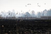 Biebrzanski Park Narodowy, 23.04.2020. Olbrzymi pozar w Biebrzanskim Parku Narodowym. Od niedzieli ( 19.04 ) plonie tam ok. 6000 hektarow lak, torfowisk, trzcinowisk i lasu. Gaszenie pozaru moze potrwac nawet pare dni. BPN jest najwiekszym polskim parkiem narodowym, maja tu swoja ostoje m.in losie oraz liczne gatunki ptakow N/z spalone laki fot Michal Kosc / AGENCJA WSCHOD