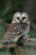 Northern Saw-whet Owl - Aegolius acadius