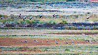 Sandhill Crane (Antigone canadensis). Bitter Lake National Wildlife Refuge. Roswell, New Mexico. Image taken with a Nikon D800 camera and 500 mm f/4 VR lens.