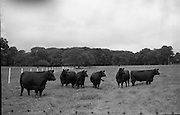 Aberdeen Angus herd at Clonacody House, Clonmel, Co. Tipperary.<br /> 19.08.1961