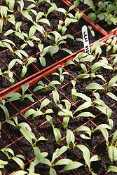 Trinity Organic Farm, Nottinghamshire - tray of leaf beet seedlings