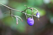 Dianella ensifolia fruit in Mesilau Nature Resort, Kinabalu National Park, Sabah
