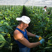 September 2009 20090901 ..Een poolse arbeider plukt paprika's in kas, op de achtergrond andere arbeids immigranten.  .A polish worker at work in greenhouse, immigration.                               ..Foto: David Rozing