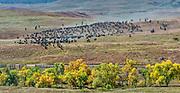 Photographs of the Buffalo round Up of 1,300 Buffalo
