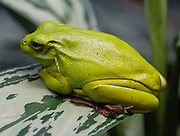 The American Green Tree Frog, Hyla cinerea is a common backyard species, popular as a pet, and is the state amphibian of Georgia and Louisiana. These frogs are found in the central and southeastern United States. Photographed in the Vancouver Aquarium, 845 Avison Way, Vancouver, British Columbia, V6G 3E2 CANADA.