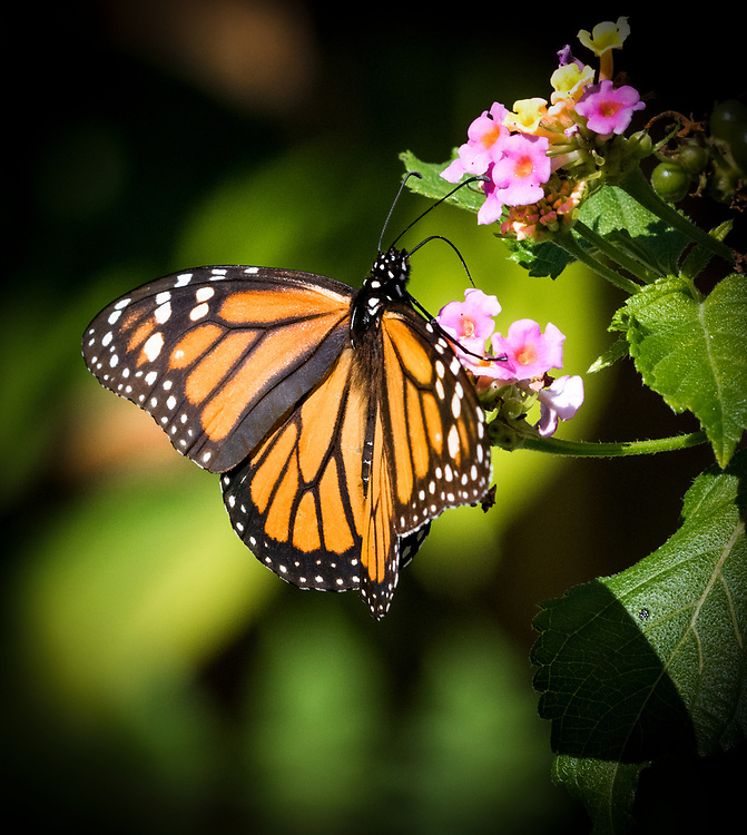 The butterfly's tongue is a straw-like proboscis. Through it she sucks nectar and water for nourishment.