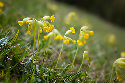 Cowslips growing in grass. Primula veris