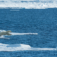 Polar Bear diving from pack ice into the waters of the Arctic Ocean near Svalbard.