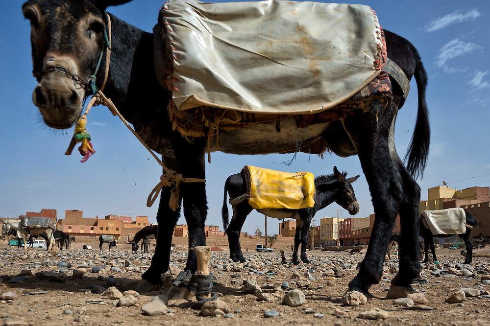 Donkeys for sale at a market in Morocco.