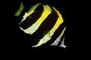 Amphichaetodon howensis (Lord Howe coralfish)