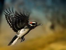 Feeder - Downy Woodpecker