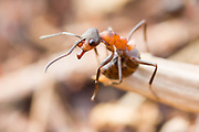 Wood ant (Formica rufa) stands guard at the nest entrance.  Dorset, UK. Wood ants fire formic acid from the tip of their abdomens when threatened.