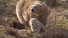 Polar Bear & Cub venture outside - 24 March 2018