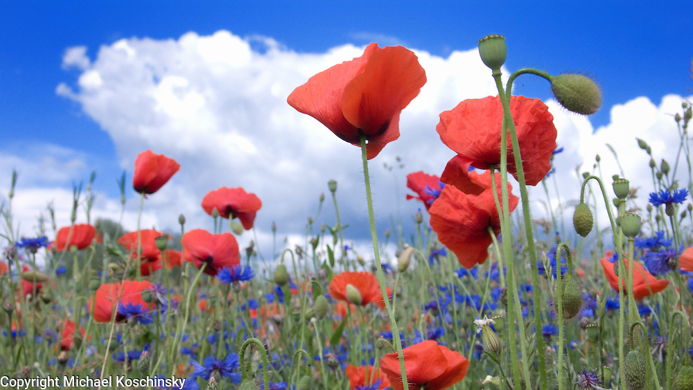 Poppies and bluebottles