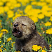Gray Wolf, (Canis lupus) Young pup howling in field of dandelions. Spring. Montana.  Captive Animal.