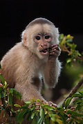 White-fronted Capuchin Monkey (Cebus albifrons) CAPTIVE<br /> Amazon rain forest, ECUADOR, South America<br /> RANGE: Isolated areas in N Colobia, Venezuela and coastal Ecuador; and middle and upper Amazon Basin of Colombia, Venezuela, Ecuador, Peru, Bolivia and Brazil - west of Rios negro and Tapajóz.<br /> These are diurnal monkeys with prehensile tails. They live at all levels of the forest, including the ground and feed on fruit, seeds and anthropods. They live in large troops.[#Beginning of Shooting Data Section]<br /> Nikon D70<br /> Focal Length: 70mm<br /> Optimize Image: Custom<br /> Color Mode: Mode II (Adobe RGB)<br /> Noise Reduction: OFF<br /> 2005/01/22 10:15:26.1<br /> Exposure Mode: Aperture Priority<br /> White Balance: Cloudy<br /> Tone Comp: Normal<br /> RAW (12-bit) Lossless<br /> Metering Mode: Multi-Pattern<br /> AF Mode: AF-C<br /> Hue Adjustment: 0°<br /> Image Size:  Large (2000 x 3008)<br /> 1/125 sec - F/4.5<br /> Flash Sync Mode: Slow Sync<br /> Saturation:  Normal<br /> Exposure Comp.: -0.3 EV<br /> Auto Flash Mode: Built-in TTL<br /> Sharpening: None<br /> Lens: 35-70mm F/2.8 D<br /> Sensitivity: ISO 400<br /> Auto Flash Comp: -2.7 EV<br /> Image Comment:                                     <br /> [#End of Shooting Data Section]