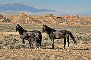 A trio of black mustangs against the distant badlands in mid-summer.