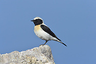 Black-eared Wheatear - Oenanthe hispanica - eastern race male, black throated form