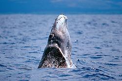 humpback whale newborn calf, breaching, Megaptera novaeangliae, Hawaii, Pacific Ocean