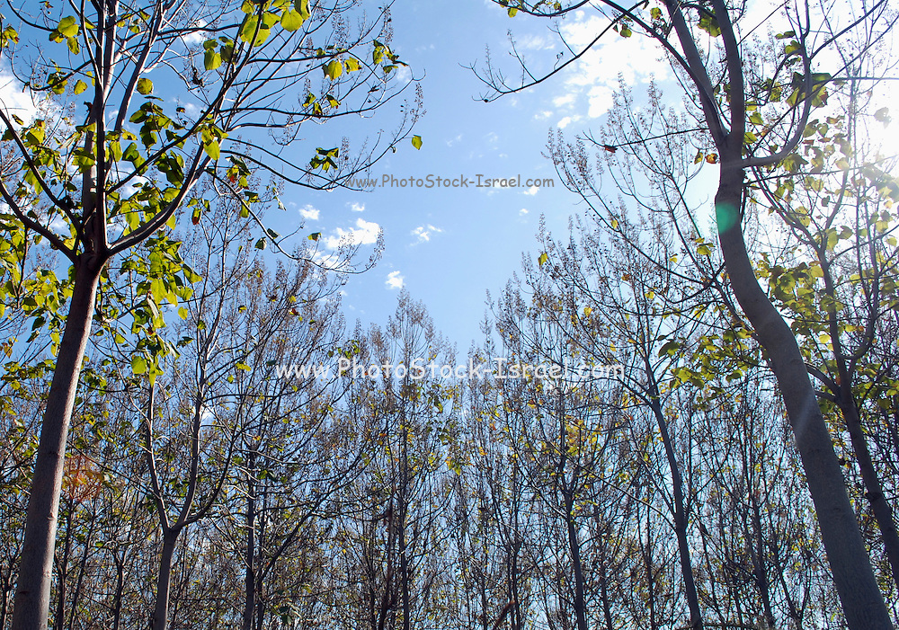 Israel, Pecan tree plantation