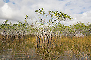 Red mangroves (Rhizophora mangle) along the Nine Mile Pond Canoe Trail in Everglades National Park, Florida.
