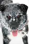 A dog mushers pet Collie, who runs with the huskies, with frozen fur in Karasjok, Finnmark region, northern Norway