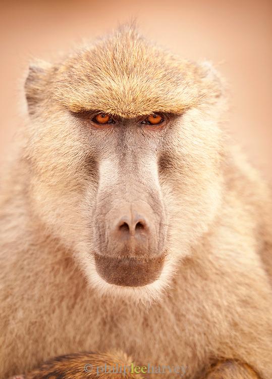 Portrait of a baboon in Amboseli National Park, Kenya