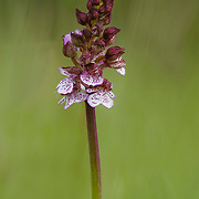 Lady Orchid (Orchidaceae) agains green background
