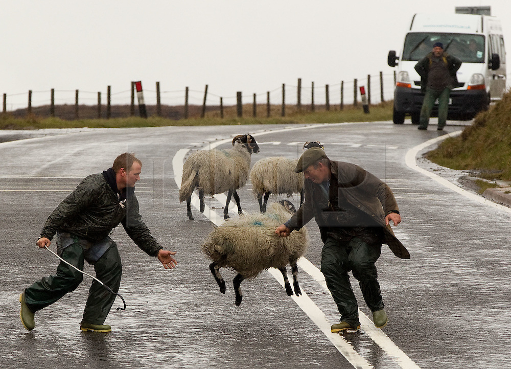 © licensed to London News Pictures. Glossop, UK. 19/04/2012. A shepherd rescues a spring lamb from the road. Helpful drivers park their cars to block the road from traffic as a shepherd herds his sheep and a lamb from the busy A57 Snake Pass in Glossop. Photo credit should read Joel Goodman/LNP